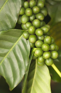 ziarna zielonej kawy (źródło: pinterest)